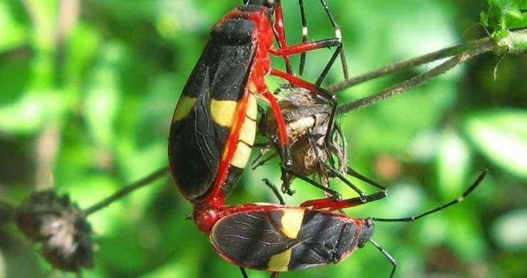 Como se reproducen los insectos