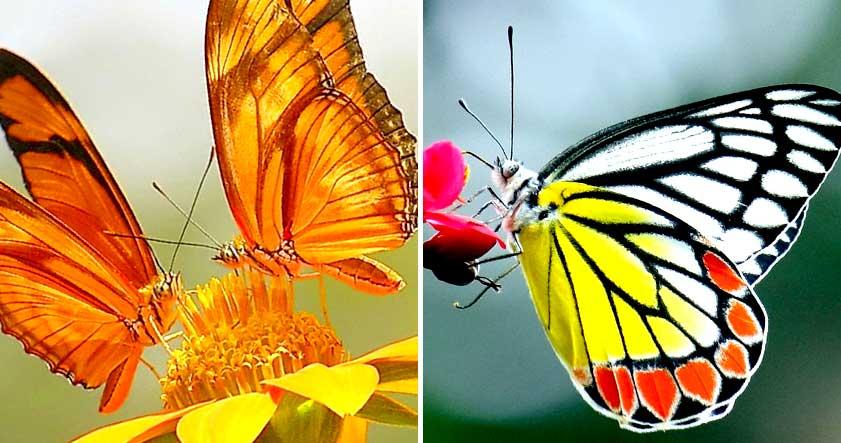 Alas de mariposas