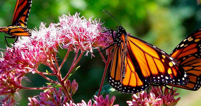 Alas de la mariposa monarca