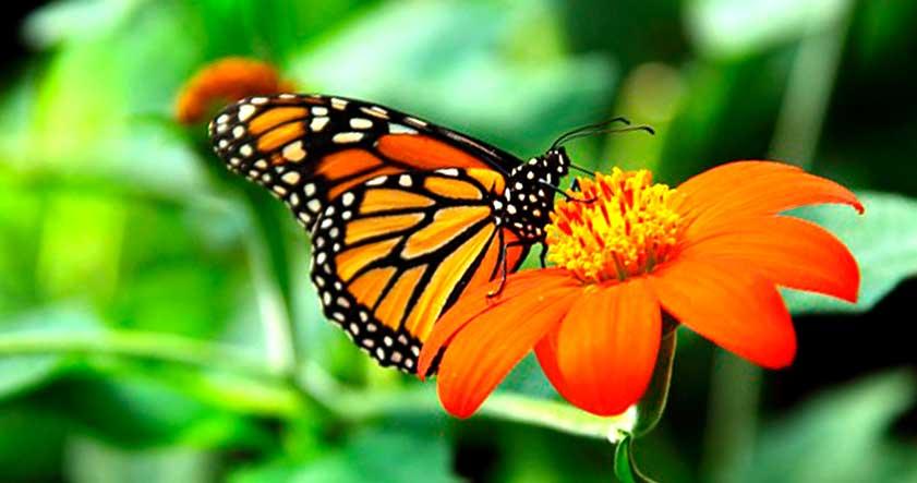 Alimentacion de la mariposa monarca