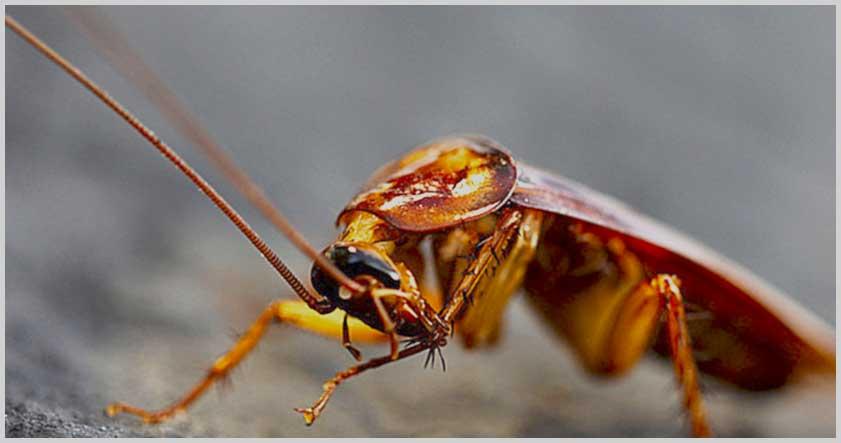 Tipos de cucaracha