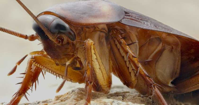 Como matar cucarachas