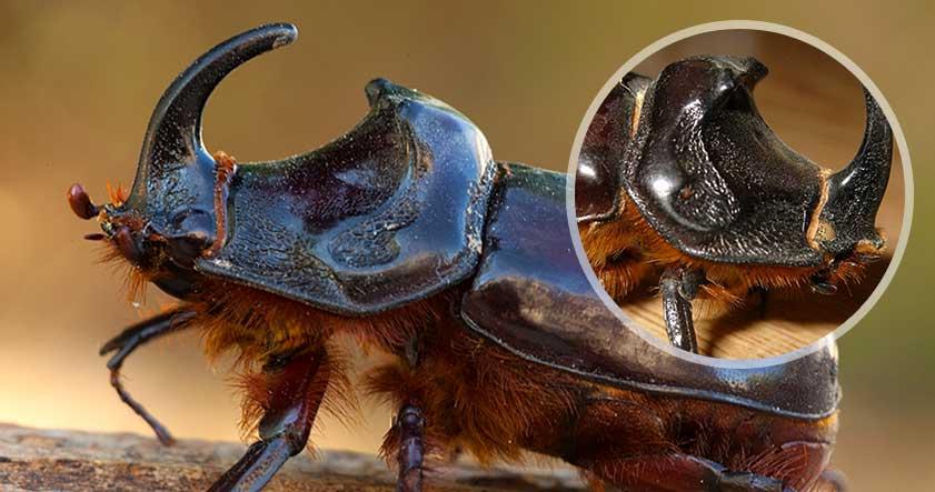 escarabajo rinoceronte o toro