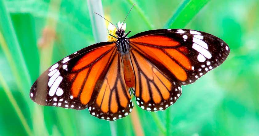 mariposa tigre
