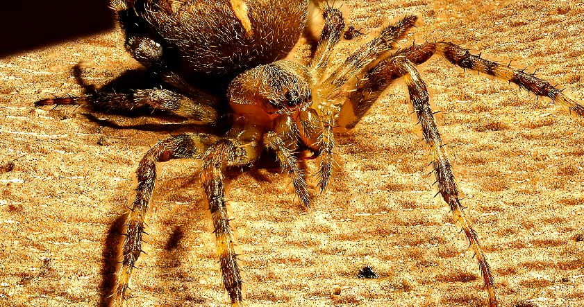 característica de las arañas
