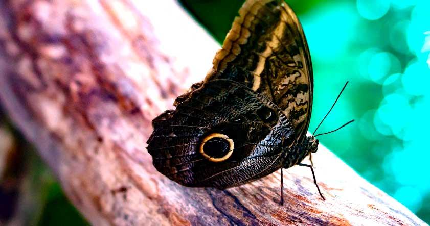 Caracteristica de la mariposa buho