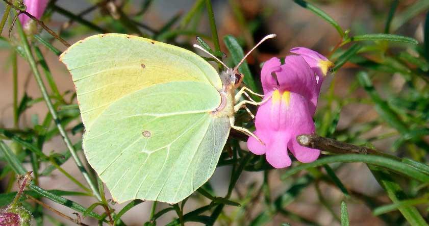 Caracteristica de la mariposa canaria