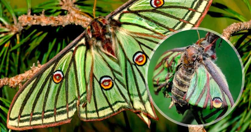 Caracteristica de la Mariposa Isabelina