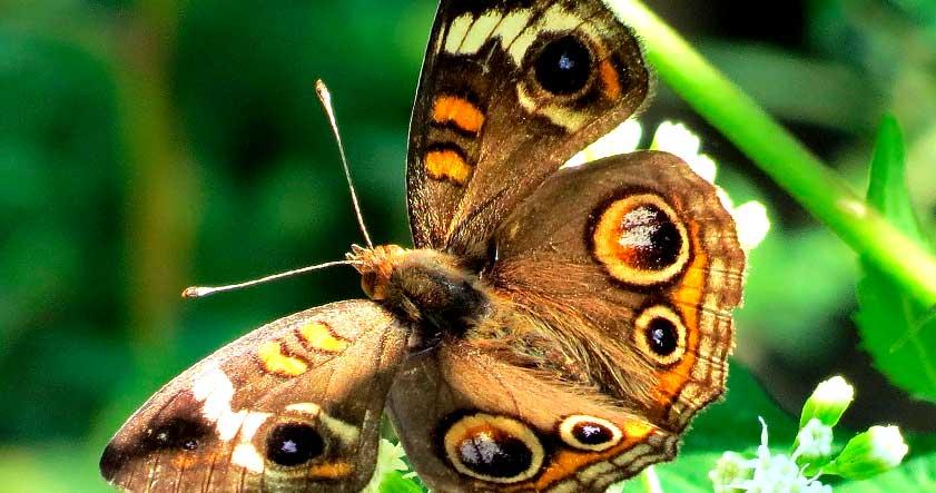 Ciclo de vida de la mariposa buho