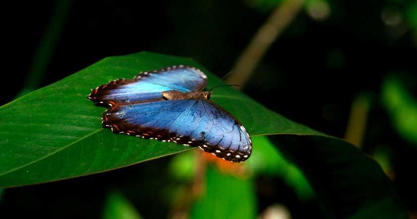 Comportamiento de la mariposa morpho azul