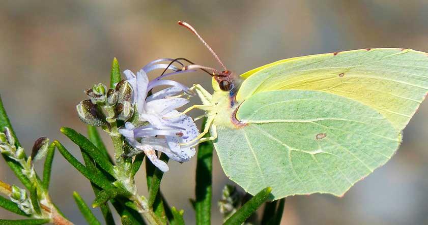 Mariposa cleopatra canaria