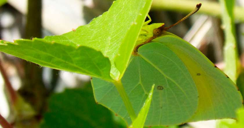 Mariposa cleopatra similar a hoja de un arbol