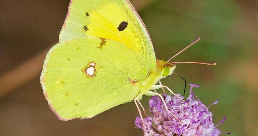 Nombre cientifico de la mariposa cleopatra