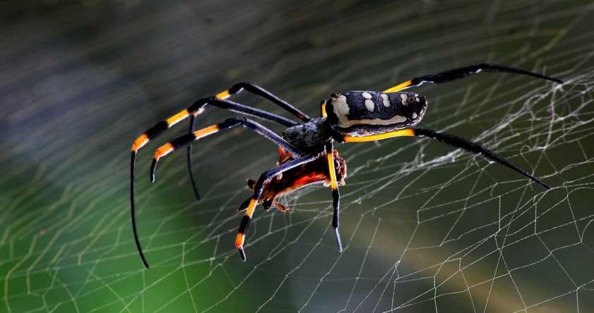 picaduras de las arañas