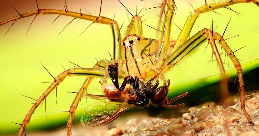 que comen las arañas