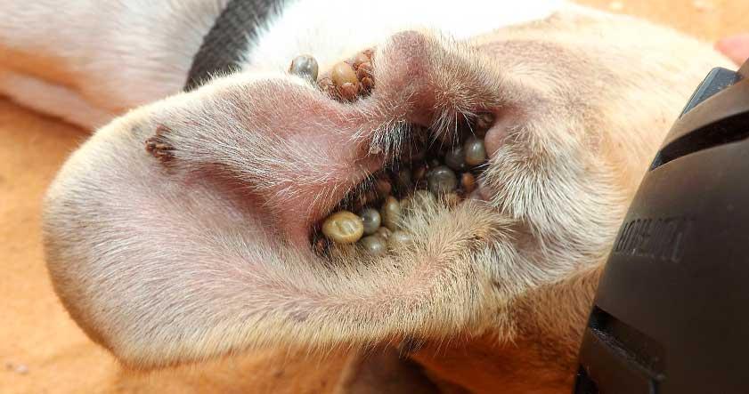 Garrapatas en perros y humanos picaduras y como eliminarlas for Como combatir las garrapatas en el jardin