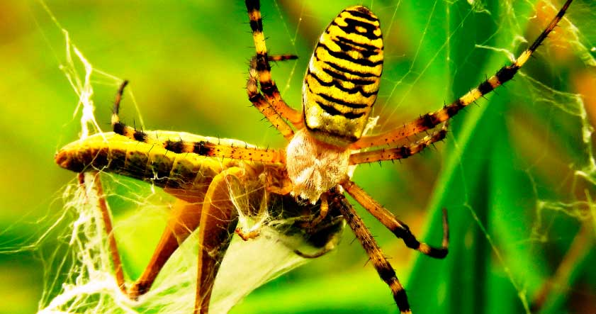 Picadura de la araña tigre