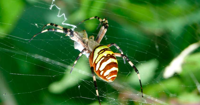 Reproducción de la araña tigre