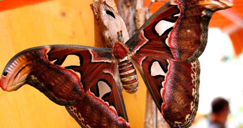 Caracteristica de la mariposa atlas