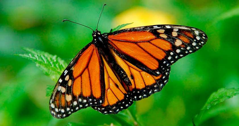 Caracteristica de la mariposa monarca
