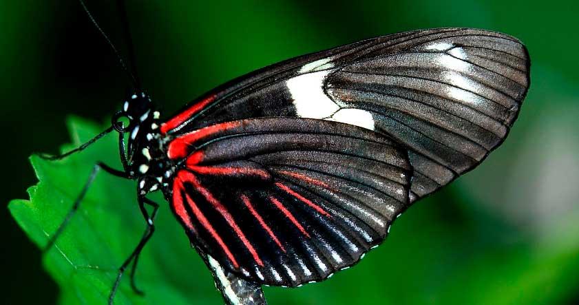 Caracteristica de la mariposa negra