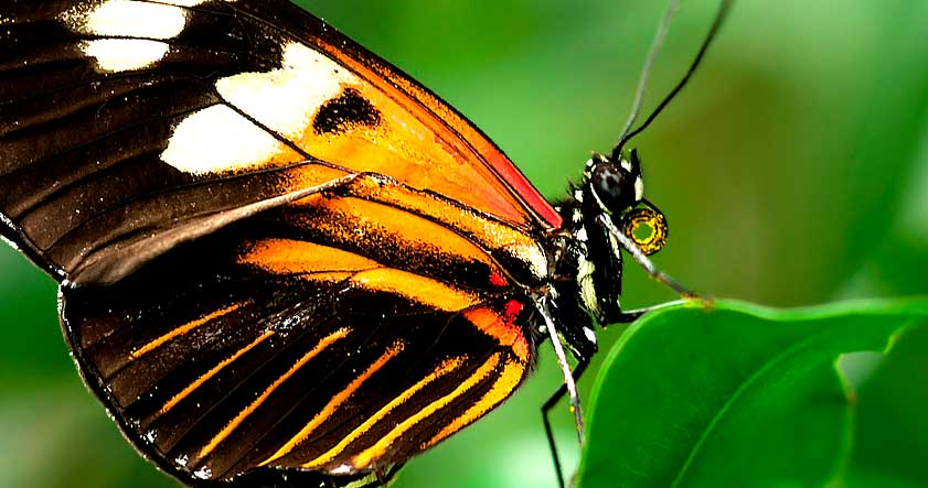 Caracteristica de la mariposa tigre