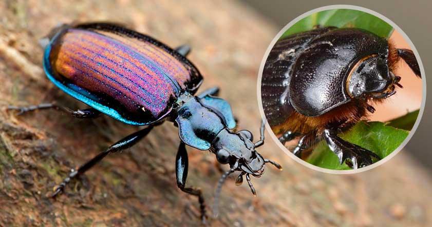característica de los escarabajos