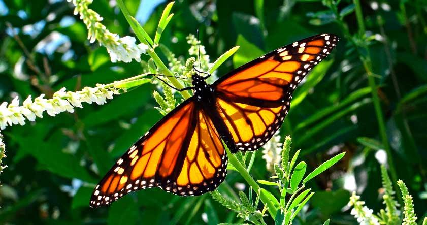 Donde vive la mariposa monarca