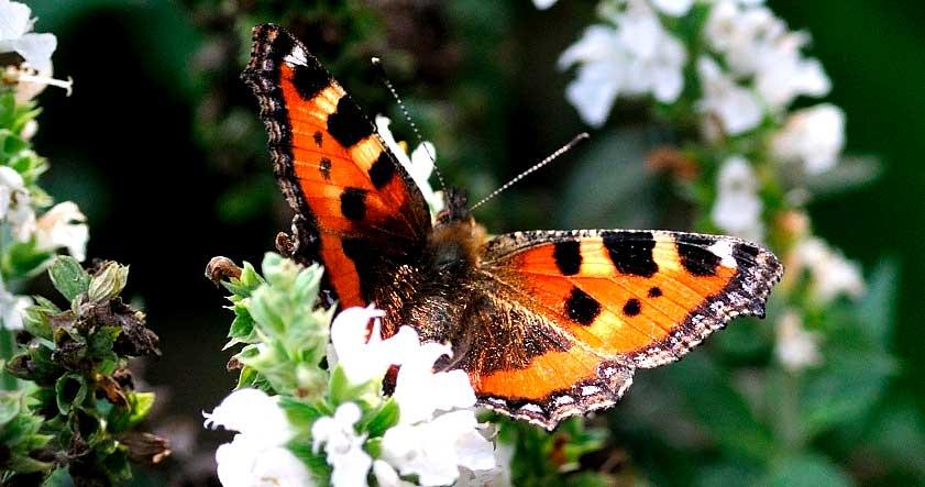 Habitat de la mariposa tigre