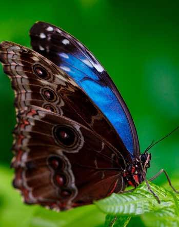 Alas de la mariposa morpho azul