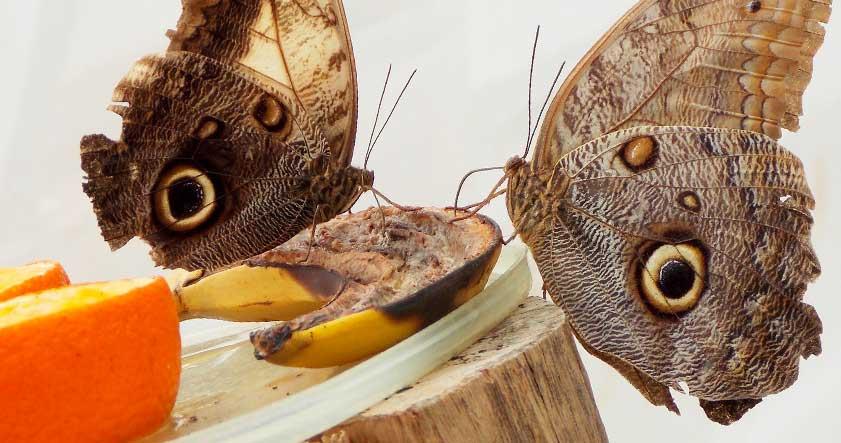 Alimentacion de la mariposa buho