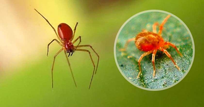 característica de la araña roja