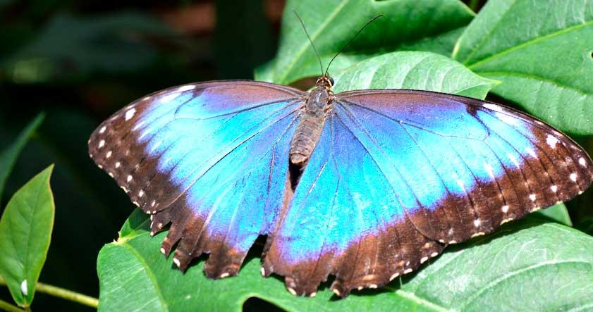 Caracteristica de la mariposa morpho azul