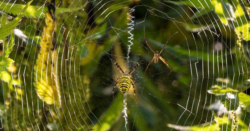 ciclo de vida de las arañas