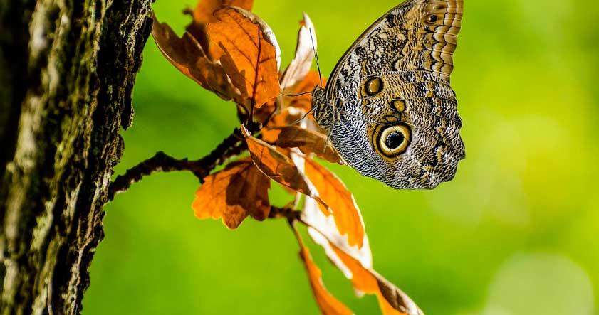 Habitat de la mariposa buho