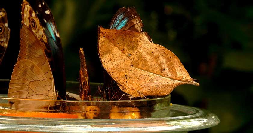 Habitat de la mariposa morpho azul
