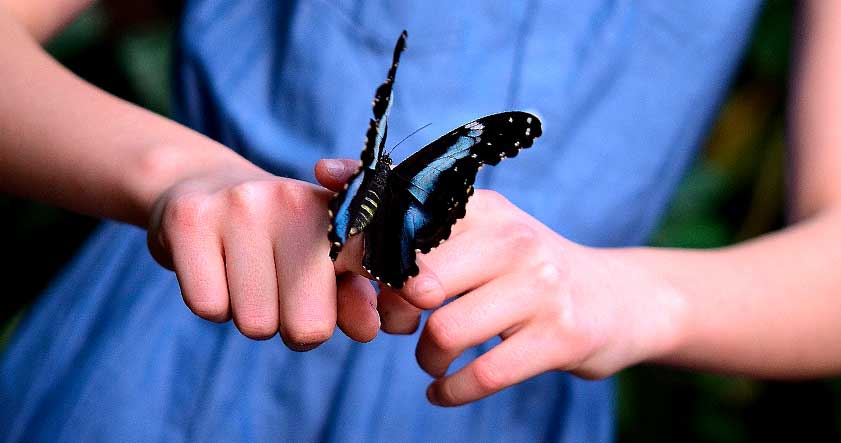 Peligro de extincion de la mariposa morpho azul