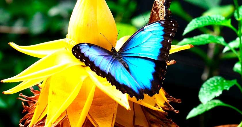 Reproduccion de la mariposa morpho azul