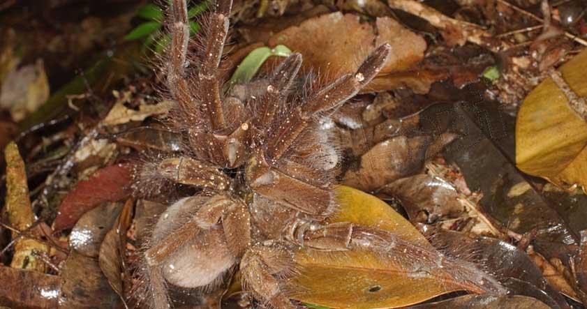 Características de la araña goliat