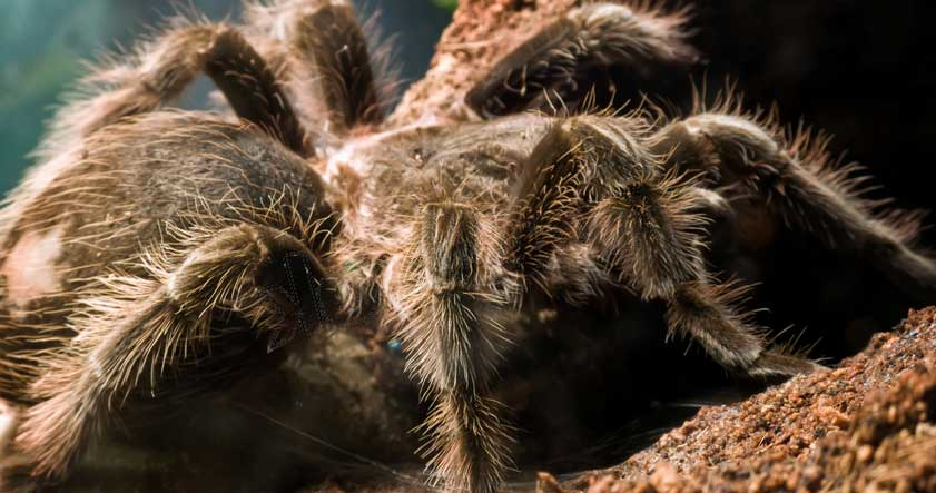Tarantula Goliat