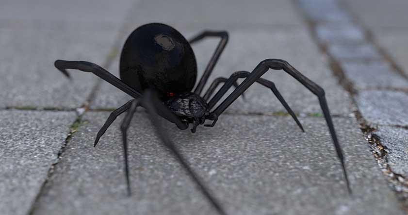La peligrosa araña viuda negra