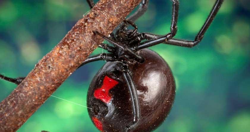 Característica de la araña viuda negra